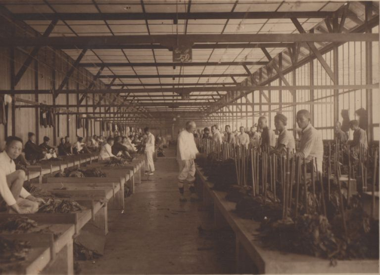 [Photo Album Documenting the Cultivation of Sumatran Tobacco]. Photography.