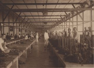 Photo Album Documenting the Cultivation of Sumatran Tobacco